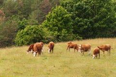 Mucche sul pascolo al legno Bestiame che coltiva in repubblica Ceca Fotografia Stock