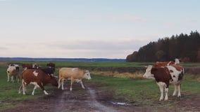 Mucche sul pascolo al tramonto archivi video