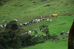 Mucche sul pascolo della montagna Immagine Stock