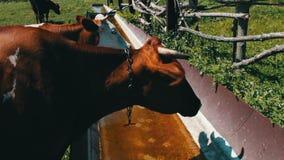 Mucche sul pascolo Le varie grandi e piccole mucche bevono l'acqua dalla depressione enorme del ferro riempita di acqua Sete per  archivi video