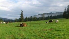 Mucche sul pascolo in montagne occidentali di Tatras Immagine Stock