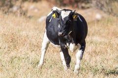 Mucche sul pascolo nella caduta Immagini Stock Libere da Diritti