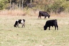 Mucche sul pascolo nella caduta Immagine Stock Libera da Diritti