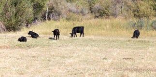 Mucche sul pascolo nella caduta Fotografia Stock Libera da Diritti