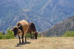 Mucche sul pascolo nelle montagne dell'Armenia Fotografie Stock