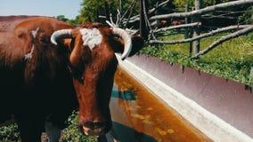 Mucche sul pascolo Sete per il bestiame Le varie grandi e piccole mucche bevono l'acqua dalla depressione enorme del ferro riempi stock footage