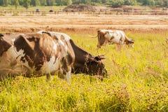 Mucche sul pascolo, sul fondo dell'azienda agricola e sulla foresta Immagini Stock Libere da Diritti