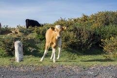 Mucche sul pascolo sull'isola del Madera Fotografia Stock Libera da Diritti