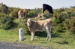 Mucche sul pascolo sull'isola del Madera Fotografie Stock