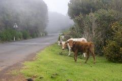 Mucche sul pascolo sull'isola del Madera Fotografia Stock