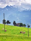 Mucche sul pascolo, Svizzera Immagine Stock Libera da Diritti