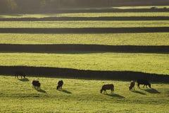 Mucche sul pascolo in vallate Yorkshire Inghilterra di Yorkshire Immagine Stock Libera da Diritti