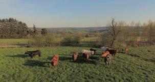 Mucche sul pascolo verde video d archivio