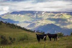 Mucche sul pendio di un'alta montagna Immagine Stock