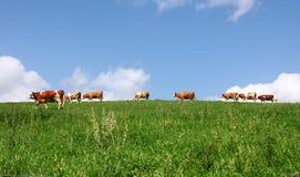 Mucche sul prato Fotografia Stock