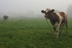 Mucche sul prato Fotografie Stock Libere da Diritti