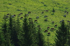 Mucche sul prato immagini stock libere da diritti