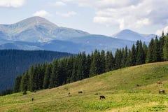Mucche sul prato con la gamma di montagne ed il fondo blu del cielo nuvoloso Fotografie Stock Libere da Diritti
