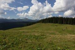 Mucche sul prato con la gamma di montagne ed il fondo blu del cielo nuvoloso Immagine Stock
