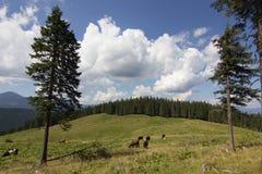 Mucche sul prato con la gamma di montagne ed il fondo blu del cielo nuvoloso Immagine Stock Libera da Diritti