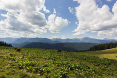 Mucche sul prato con la gamma di montagne ed il fondo blu del cielo nuvoloso Fotografia Stock