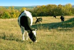 Mucche sul prato di autunno Fotografie Stock