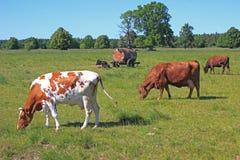 Mucche sul prato rurale Fotografia Stock