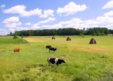 Mucche sul prato verde Fotografia Stock Libera da Diritti