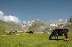 Mucche sul prato verde Fotografie Stock Libere da Diritti