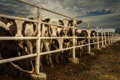 Mucche sul ranch Fotografia Stock
