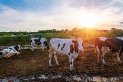 Mucche sull'azienda agricola immagini stock