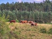 Mucche sull'azienda agricola Immagini Stock Libere da Diritti