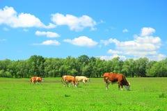 Mucche sull'azienda agricola Fotografia Stock Libera da Diritti