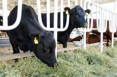 Mucche sull'azienda agricola immagine stock