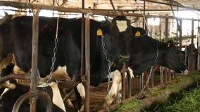 Mucche sull'azienda agricola stock footage