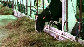 Mucche sull'azienda agricola video d archivio