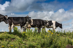 Mucche sull'orizzonte Fotografie Stock