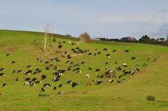Mucche sulla collina Fotografia Stock