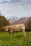 Mucche sulla montagna Fotografia Stock
