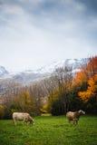 Mucche sulla montagna Fotografie Stock