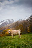 Mucche sulla montagna Fotografia Stock Libera da Diritti