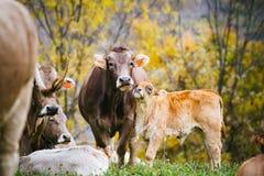 Mucche sulla montagna Fotografie Stock Libere da Diritti