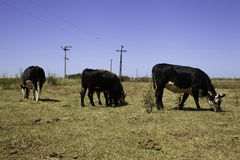 Mucche sulla prateria Immagine Stock