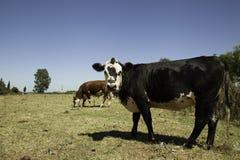 Mucche sulla prateria Fotografie Stock Libere da Diritti