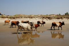 Mucche sulla spiaggia, Goa Immagine Stock Libera da Diritti