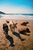 Mucche sulla spiaggia, Goa, India Immagine Stock