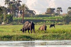 Mucche sulla sponda del fiume Nilo nell'Egitto fotografia stock libera da diritti