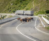 Mucche sulla strada Fotografia Stock