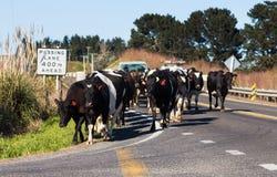 Mucche sulla strada Fotografie Stock
