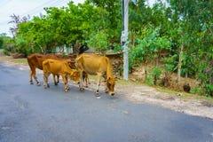 Mucche sulla strada Immagine Stock Libera da Diritti